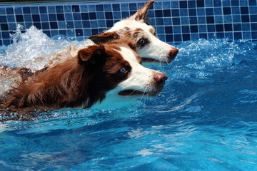 Swwiming border collies