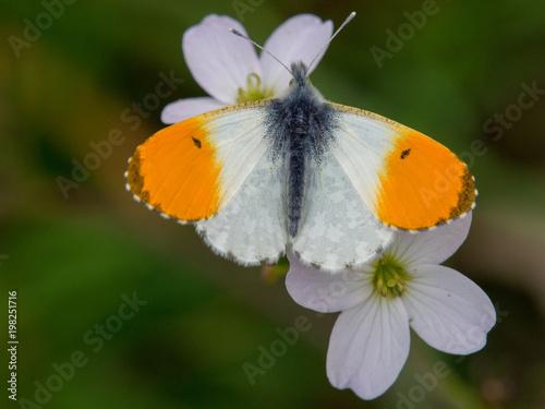 pomarańczowy motylek