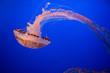 Leinwandbild Motiv Jellyfish in the Monterey Bay Aquarium