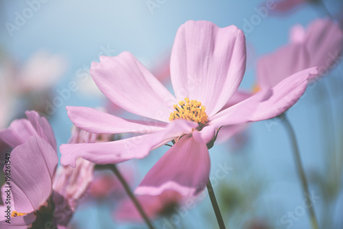 Cosmos flowers soft pastel color background.