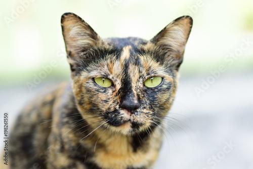 Cute cat looking at camera, Thai cat - 198261550