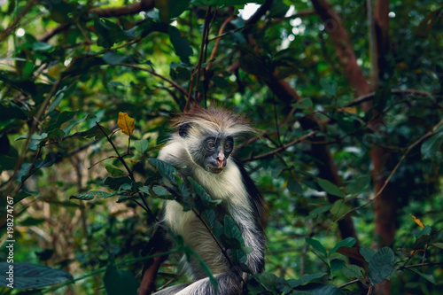 Fotobehang Aap Portrait monkey red colobus dense tropical forest