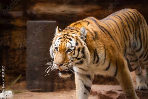 kolorowy tygrys portret w parku