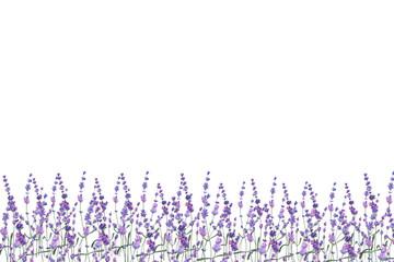 Watercolor illustration lavender on isolated background. © kozhevnikofa