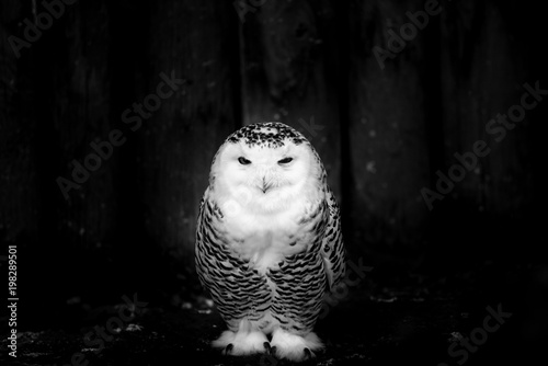 snowy owl - black and white image