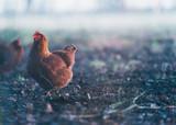 Brown chicken in misty dirt field. - 198291708