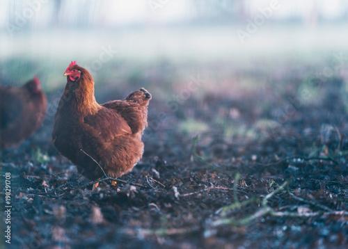 Brown chicken in misty dirt field.