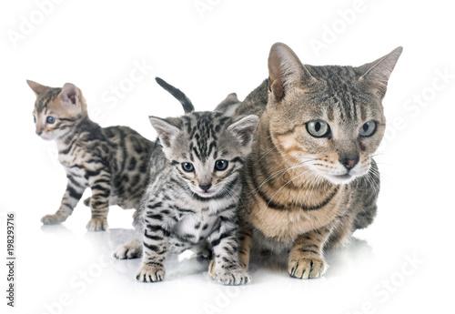 bengal kitten in studio - 198293716