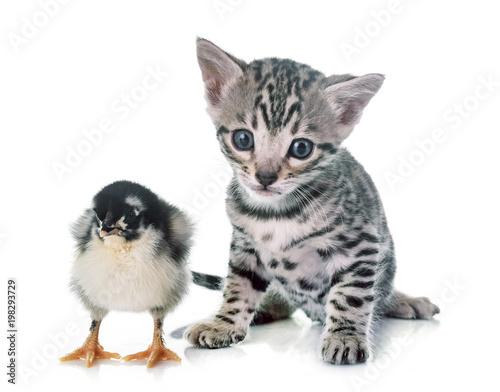 kot bengalski i pisklę