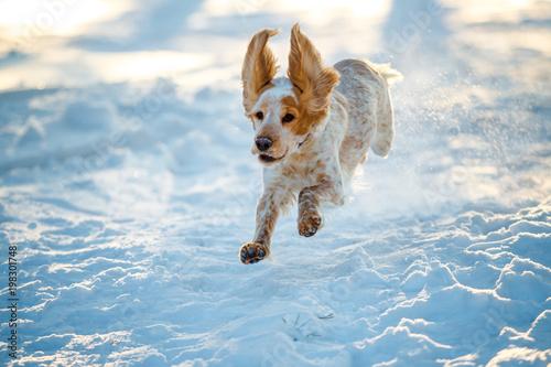 Russian hunting Spaniel