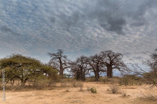 Deurstickers Baobab Baobabbaum (Adansonia digitata) - Afrikanischer Affenbrotbaum - Tansania