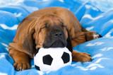 Schlafender Rhodesian Ridgeback Welpe mit Fußball