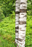 Birch tree trunk on green forest background