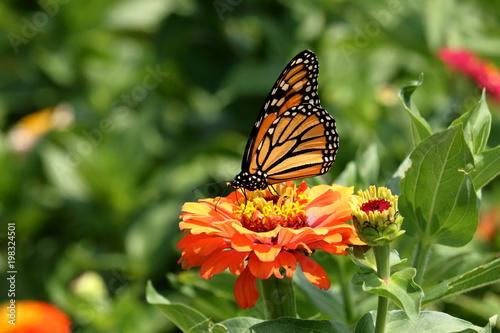 Monarch Butterfly żywi się jasnymi, kolorowymi kwiatami Cynia w ogrodzie w jasny, letni dzień.