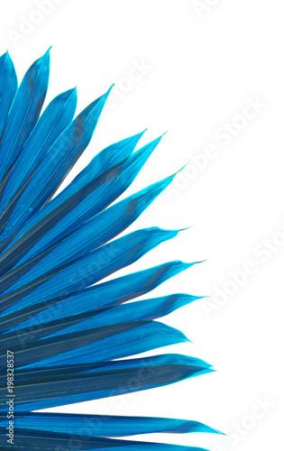 Foto Murales feuille bleue de palmier sur fond blanc