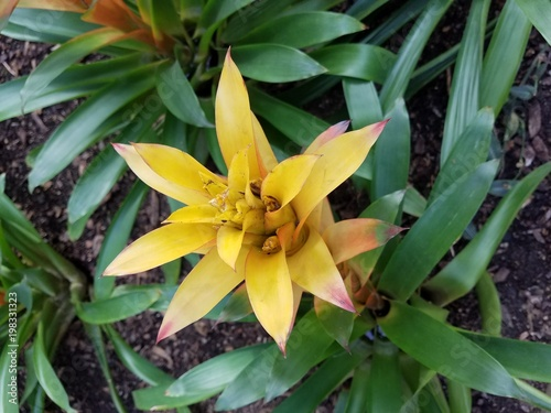 Poster Chicago Yellow bromeliad flower