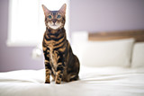 Bengal cat on a blanket with green eyes