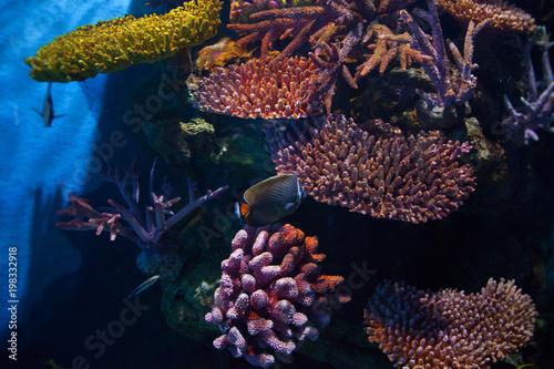 Exotic fishes swim among beautiful corals in an oceanarium. Undersea world.