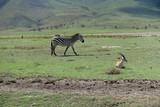 Zebra und Thomson-Gazelle im Ngorongoro-Krater, Tansania
