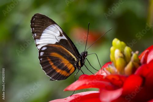 Makro- strzał motyl