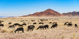 a herd of black sheep in the savannah of namibia africa