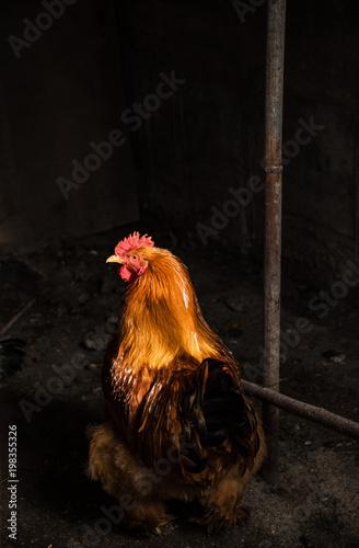 Orange cock on a farm. Natural light