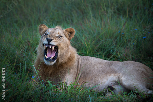 Plexiglas Lion Mighty Lion watching the lionesses who are ready for the hunt in Masai Mara, Kenya (Panthera leo)