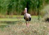 White Stork collects in the beak branches for the construction and strengthening of the nest
