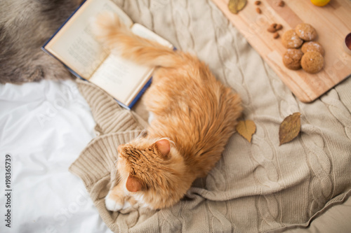 pets, hygge and domestic animal concept - red tabby cat lying on blanket at home in winter - 198365739