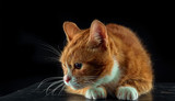 frightened ginger cat with big eyes on a black background