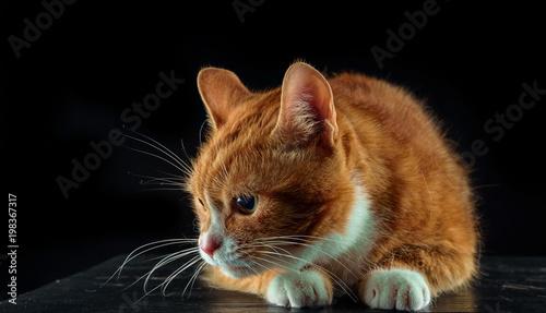 przestraszony imbir kot z dużymi oczami na czarnym tle