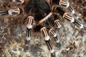 A spider tarantula in search of food in the steppe close-up.