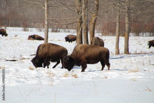 Aluminium Bison Wintering Bison, Elk Island National Park, Alberta