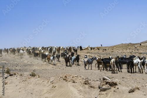 Deurstickers Canarische Eilanden flock of goats