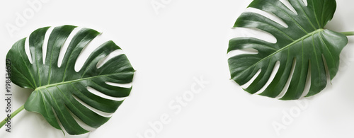 Monstera leaves plant on white background. Isolated with copy space. Banner. © svetlana_cherruty