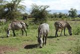 Zebras im Ngorongoro-Krater, Tansania