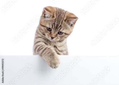 Cat kitten hanging over blank posterboard, isolated on white - 198451372