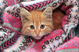 Little red kitten - 198453312