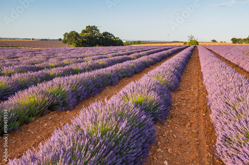 Provence lavender fields in summer - 198459334