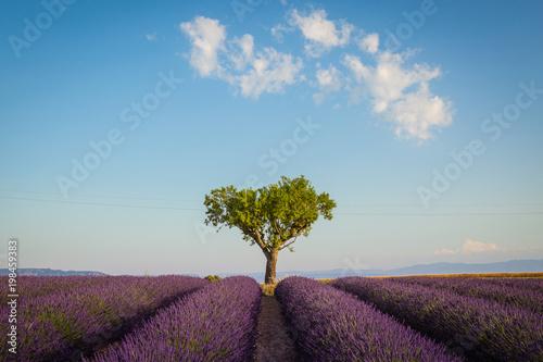 In de dag Blauwe jeans Provence lavender fields in summer
