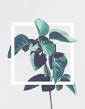 Single green tropical plant with white square frame aroung it isolated on light gray background. Copy space - 198468528