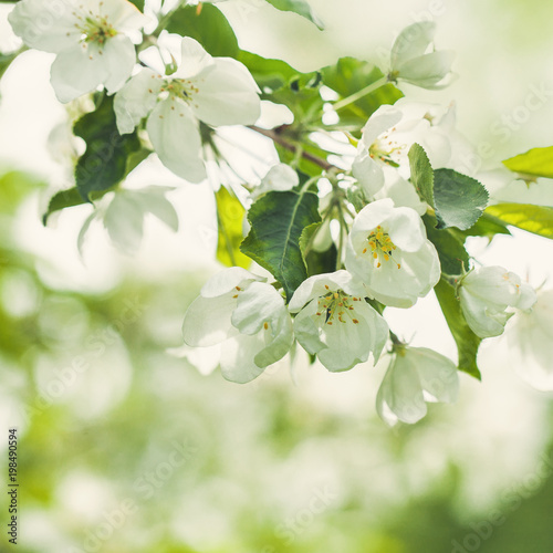 Spring Apple Flowers, Green Leaves and Abstract Bokeh Light on Floral Health Background