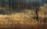 Fototapeta Forest - Wiosenne Trzcinowisko  © jesiotr9