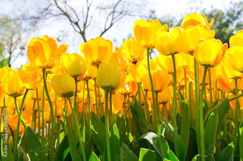 Fresh yellow tulip with bokeh background.