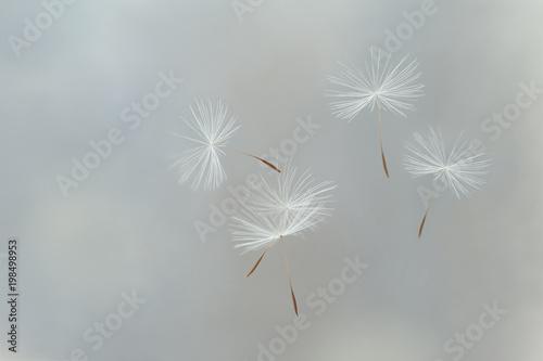 Fotobehang Paardenbloemen Flying parachutes from dandelion