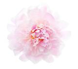 Light pink peony isolated on white background. - 198519189