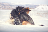 German shepherd and black with white Russian borzoi sit on the snow on winter background