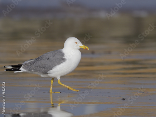 Yellow-legged gull, Larus cachinnans