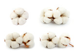 Cotton plant  flowers set isolated on the white background - 198533132
