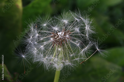 Fotobehang Paardenbloemen dandelion flower blowing nature flower dandelion